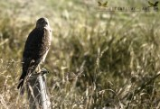 Australasian harrier (Circus approximans, kāhu, harrier hawk or swamp harrier)